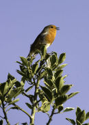 Robin on Holly Tree