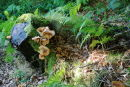 Old tree stump and fungus.
