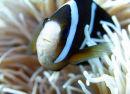 Anemonefish, Sipadan