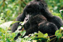 Mountain Gorilla and young in rain