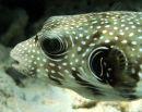 Pufferfish Face