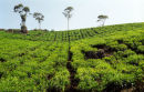 Tea plantation, Munnar, Kerala, India #2