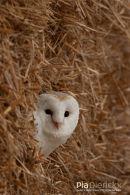 Kerkuil,Barn Owl,Tyto Alba