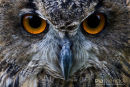 Bengaalse Oehoe,Bengalese Eagle-Owl,Bubo Bengalensis