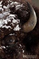 Amerikaanse Bizon, American Bison, Bison Bison