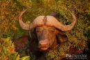 Buffel,Buffalo,Syncerus Caffer