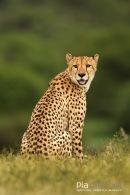 Jachtluipaard, Cheetah, Acinonyx Jubatus