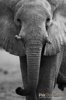 Olifant,Elephant,Loxodonta Africana