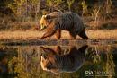 Europese bruine beer,European Brown Bear,Ursus Arctos Arctos