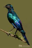 Purperglansspreeuw,Burchell's Starling,Lamprotornis Purpureus