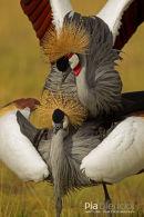 Grijze Kroonkraan, Grey Crowned Crane, Balearica Regulorum