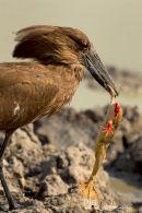 Hamerkop,Hammer-headed Stork,Scopus Umbretta