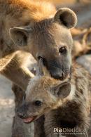 Hyena,Hyena,Hyaenidae