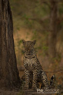 Luipaard,Leopard,Panthera Pardus