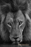 Afrikaanse leeuw,African Lion,Panthera Leo