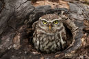 Steenuil,Little Owl,Athene Noctua