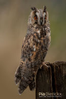 Ransuil,Long-Eared Owl,Asio Otus (previously: Stix Otus)