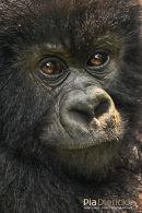 Berggorilla,Mountain Gorilla,Gorilla Beringei Beringei