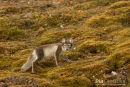 Poolvos, Polar Fox, Vulpes Lagopus