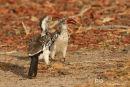 Roodsnaveltok, Red-Billed Hornbill, Tockus Erythrorhynchus