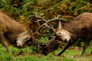 Edelhert,Red Deer,Cervus Elaphus
