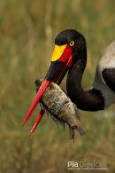 Zadelbekooievaar, Saddle-Billed Stork, Ephippiorhynchus Senegalensis