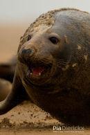 Zeehond,Seal,Phocidae