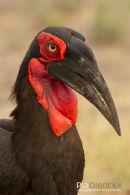 Zuidelijke Hoornraaf, Southern Ground Hornbill, Bucorvus Leadbeateri