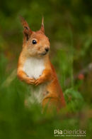 Rode eekhoorn,Red Squirrel,Sciurus Vulgaris
