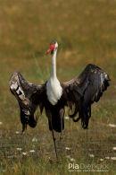 Lelkraanvogel, Wattled Crane, Bugeranus Carunculatus
