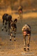 Wilde hond,Wild Dog,Lycaon Pictus