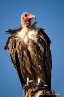 Gier,White-Headed Vulture,Trigonoceps Occipitalis