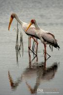 Afrikaanse Nimmerzat,Yellow Billed Stork,Mycteria Ibis