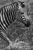 Steppenzebra,Plains Ebra,Equus Quagga