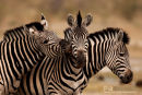 Steppenzebra,Plains Zebra,Equus Quagga