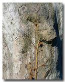 Creeper on Tree