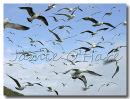 Gulls, lots of Gulls