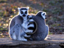 Ring-tailed Lemur monkeys