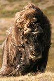 A large male muskox
