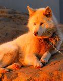 Husky in the midnight sun