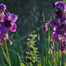 Spence Iris