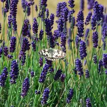 Millenium Lavender