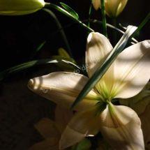 Tranby Lily
