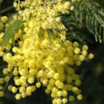 Spring Mimosa