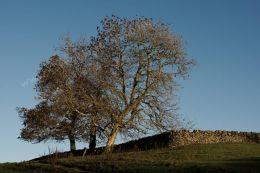 Trees Wall
