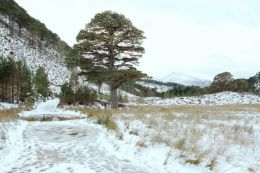 Scots Pine Track
