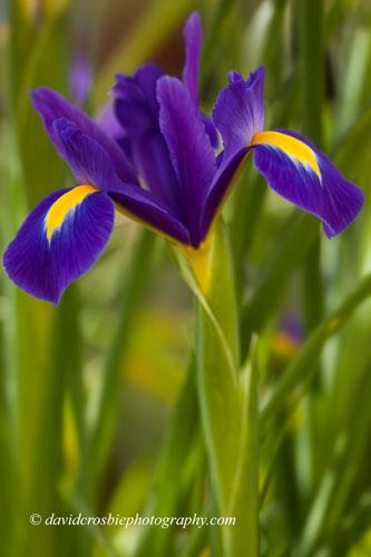Iris (2)