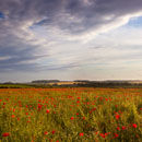 Dorset Poppies (1)