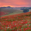 Dorset Poppies (2)