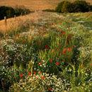 Cranborne Chase Wildflowers